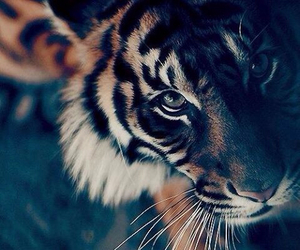 tiger, cute, and beautiful image