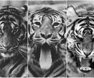 black and white and tiger image