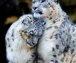 animal, snow leopard, and leopard image