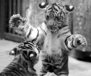 little, felin, and tiger image