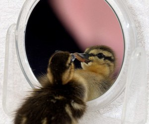 duck, duckling, and mirror image