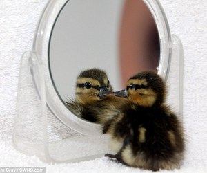 animals, duckling, and mirror image