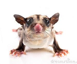 australia, cute animals, and sugar glider image