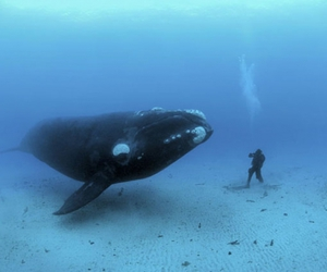 diving, Humpback Whale, and whale image