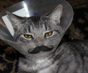 cat, mustache, and funny image