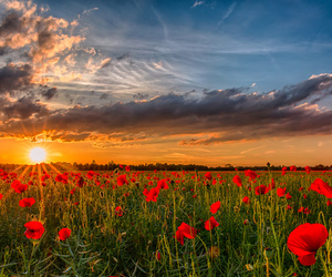 field, flowers, and poppies image