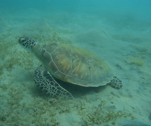 turtle and marsa alam image