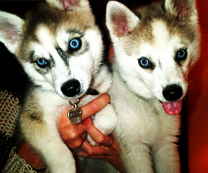 :3, dogs, and huskie image