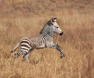 zebra, baby, and nature image