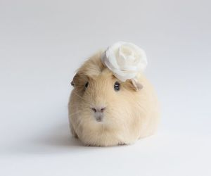 cute and guinea pig image