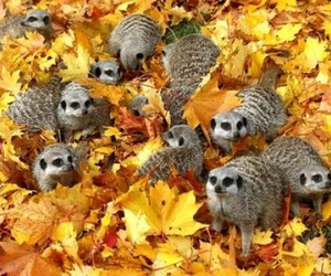 cute animals, meercats, and autumn image