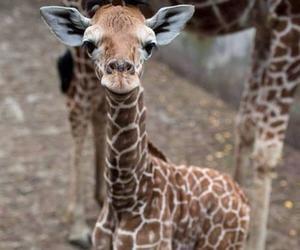 animal, giraffe, and baby image