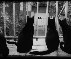 animals, black and white, and black cat image