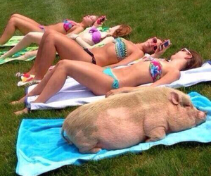 pig, summer, and funny image