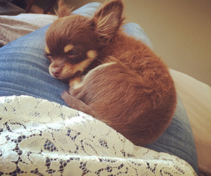 chihuahua, dog, and puppy image