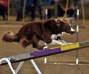 border collie, seesaw, and agility image