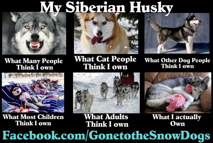 Image About Funny In Siberian Husky By Saskiax