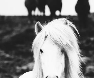 icelandic horse, islandshäst, and wild horse black white image