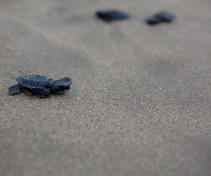 animal, baby turtle, and beach image