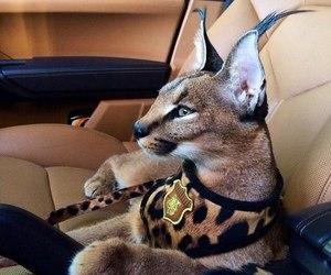 cat, animal, and luxury image