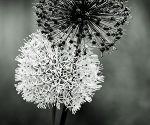 black and white, flowers, and black image