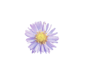 daisy, flower, and transparent image