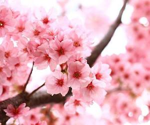 cerejeira, flowers, and japan image
