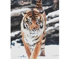 tiger, animal, and beautiful image