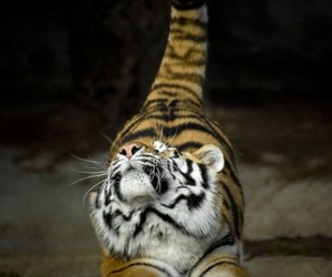 awesome, cats, and tiger image