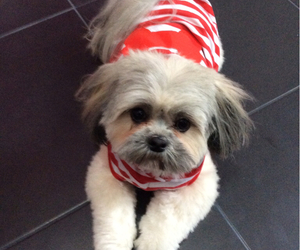 adorable, red, and shih tzu image
