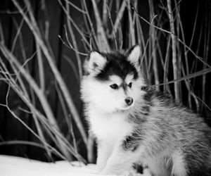 cute, animal, and wolf image