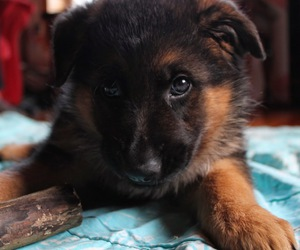 dog, puppy, and german sheperd image