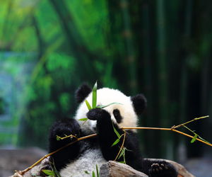 animal, panda, and cute image