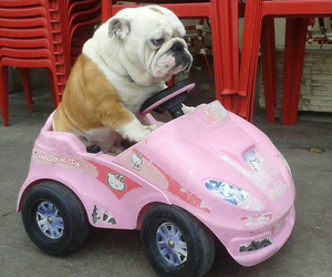 dog, bulldog, and car image