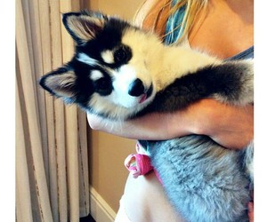 fluffy, husky, and puppy image