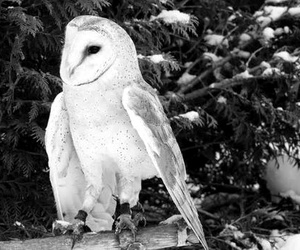 barn owl, black and white, and owl image