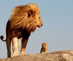 dad and lion cub king image