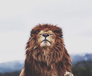 animal, pretty, and lion image