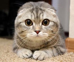 cat, beautiful, and scottish fold image