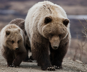bears, brown, and claws image