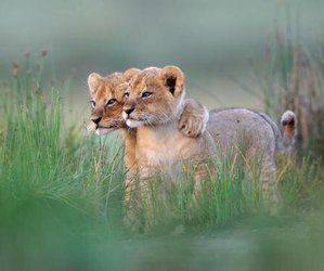 cubs, friends, and lion image