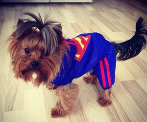 dog, superman, and cute image