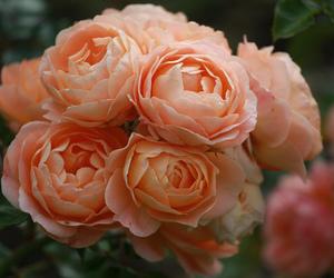 roses pink image
