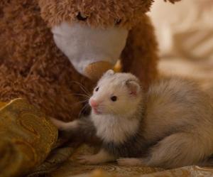 cute animals, ferret, and teddy bear image