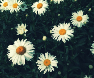 daisies, flowers, and indie image