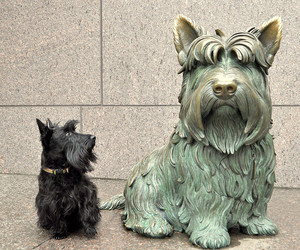 fdr, scottish, and Terrier image