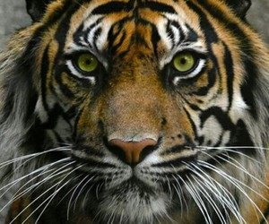 tiger, animal, and dangerous image