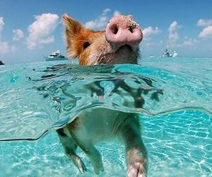 pig image