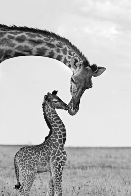 animals, black and white, and kiss image