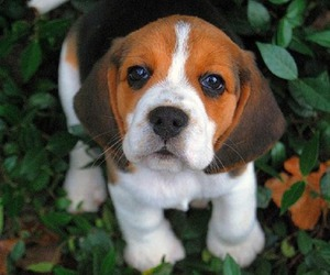 dog, puppy, and beagle image